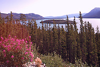 Tagish Lake along Highway 2, Yukon Territory, Canada - Fireweed and Boreal Forest, Klondike Region