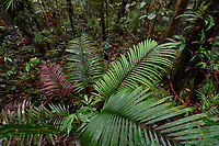 """Palm leaves, Montane rainforest plants and trees, near FakFak, Mainland New Guinea, Western Papua, Indonesian controlled New Guinea, on the Science et Images """"Expedition Papua, in the footsteps of Wallace"""", by Iris Foundation"""