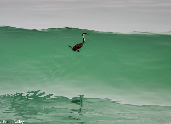 When the surf smelt come in close to shore to spawn many diving birds follow them. If you come close to shore, you have to manage the waves! This is Picture #1 of a trio.