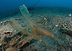 A pair of robust ghost pipefish: Solenostomus cyanopterus amongst volcanic sand, Gorontalo, Indonesia