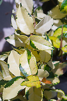 Japanese star jasmine, variegated Trachelospermum asiaticum Ogon Nishiki foliage in cream, yellow, green closeup