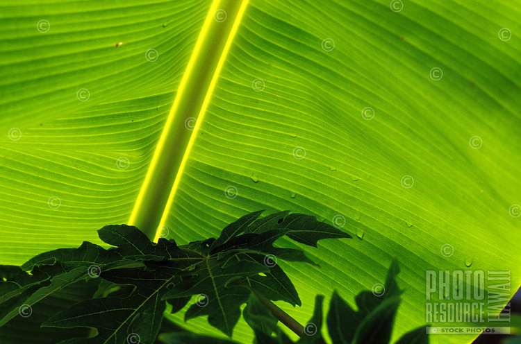Dark green leaves contrast with a large light green banana leaf sprinkled with rain droplets.