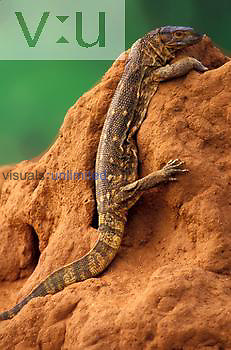 Savannah Monitor ,Varanus examthematicus, on termite mound, Samburu National Park, Kenya.