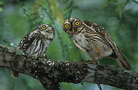 Ferruginous Pygmy-Owl, Glaucidium brasilianum, adult feeding lizard to young, Willacy County, Rio Grande Valley, Texas, USA, June 2004