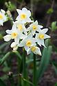 Narcissus tazetta, late March.