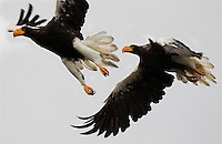 Eagles fly over the river. Salmon is the only freshwater commercial fish in the entire Pacific Rim.Kol River Biostation is the only Salmon protected area with braided rivers and 9 species from the Salmonid family.  The keystone drivers are to figure out how to keep salmon productivity high.  Why does the Kol river have huge stocks?  How do you restore ruined rivers and declined stocks in the rest of the pacific rim?  Most biostations are there to make a good forecast of how many fish will show up next year.  Their mission is to find the answer for ecosystem development and protection for the long term protection of the species.Kirill has been studying fish there for 7 years and the main interest of the Kol Biostation has become studying the inflow of marine derived nutrients (salmon fertilizer basically) as it applies to BRAIDED RIVERS.  They are on a braided river ecosystem that consists of four elements:.Main Channel (Busway for Salmon and spawning for some species).Secondary Channel (Spawning area for most species).Tertiary Channel (Flood channel used for still water during flood periods for spawning).Off Channel Habitats (Spring brooks and little creeks) This is the main area for raising juveniles.Their research shows that if you exclude even one part of this river system, there is automatic decrease in productivity.Salmon rivers in the pacific rim were all BRAIDED and this went all the way down to Malibu Creek in Southern California.  These are called Piedmont rivers.They have high gradient, high velocity and move a lot of sediment...All braided rivers exist in Far East Russia on Asia side and then only Alaska on our side...The rest of the historic braided rivers are now constrained by human activity (agriculture etc.) and this is one reason that most all of the pacific rim is at 3 to 4 percent of historic production.In Russia they allow 40-60 percent of the salmon population to be taken by commercial fishing.