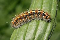 Jersey Tiger Moth - Euplagia quadripunctata