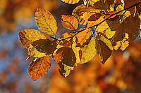 Rot-Buche, Rotbuche, Buche, Fagus sylvatica, Herbstverfärbung, Herbstfarben, im Herbst, Blatt, Blätter, Herbstlaub, Common Beech, Europaen Beech, Fayard, Hêtre commun