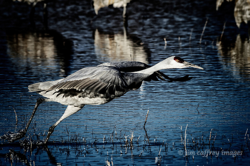 A Sandhill Crane taking off from the Chupadera Pond at Bosque del Apache National Wildlife Refuge.