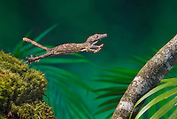 HENKEL'S LEAF-TAILED GECKO (Uroplatus henkeli) is a member of the Malagasy leaf-tail group native to the humid forests of Eastern and Northern Madagascar.  Known for their ability to leap, they tense their whole body like a spring before launching themselves at prey or to move from branch to branch in their arboreal habitat. Captive.