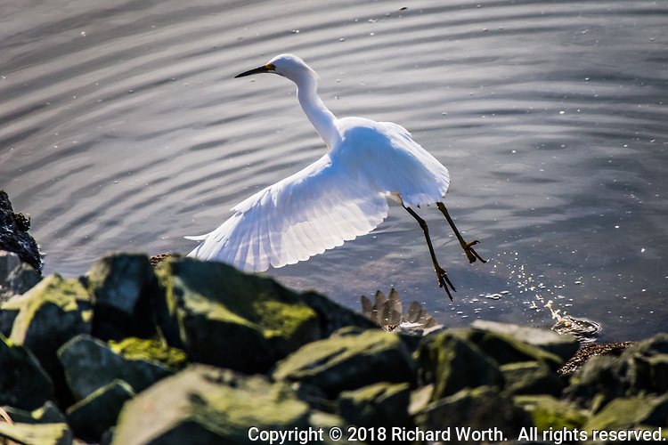 Light shines through the translucent wing of a Snowy egret as it takes flight, shifting its location a few feet along the rocky shore, before continuing its persistent search for food along San Francisco Bay.