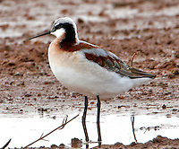 Adult female Wilson's phalarope in breeding plumage