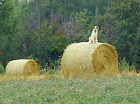 Dog sitting on bail of hay, Indian River, Prince Edward Island, Canada