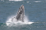 Humpback whales by Frank Balthis