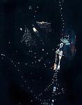 Siphonophore and web of larvacean , Black Water diving, Pelagic marine life; planktonic creature; Off Riviera Beach, Fl, Gulfstream Current, South Atlantic Ocean.