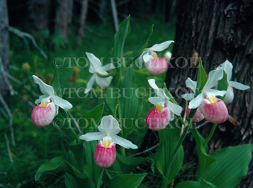 Showy Lady's Slippers, (Cypripedium reginae) in the Upper Peninsula of Michigan.