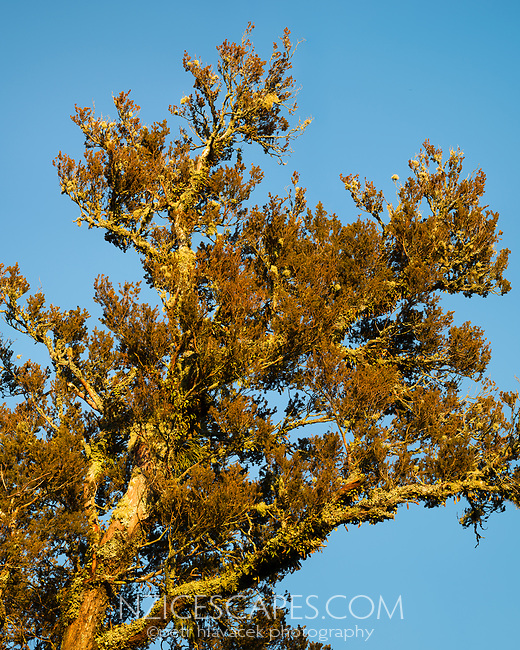 Very large file with fine detail of native totara tree in warm morning light,  West Coast, South Westland, New Zealand, NZ
