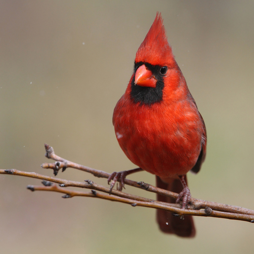 Northern Cardinal with light snow flurries..