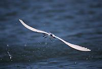 Forster's Tern, Sterna forsteri, adult in flight winter plumage, Sanibel Island, Florida, USA, Dezember 1998