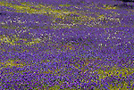 Wild flower meadow, Andalusia, Andalucia, blue, purple flowers, Cork Oak Trees.Spain....