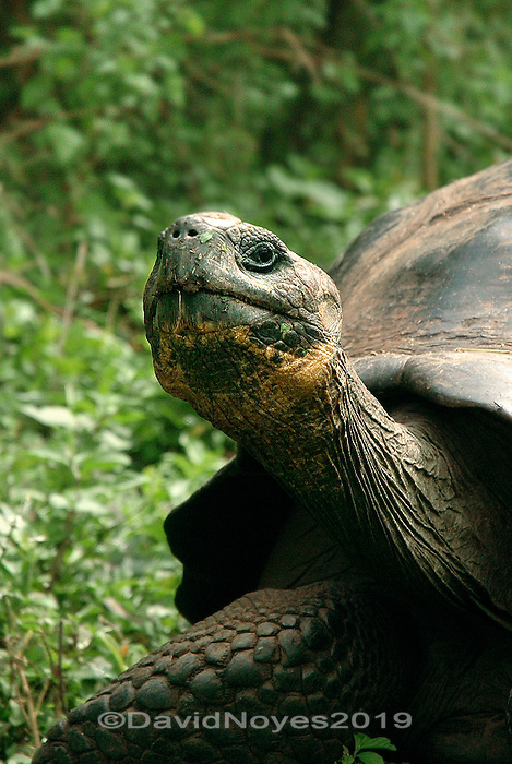 When two Galápagos tortoise males meet during the peak mating season between February and June, they will face each other in a ritual display of dominance. They rise up on their legs and stretch their necks as far as possible. Usually the shorter tortoise conceding mating rights and back off. The behavior is most aggressive in saddleback tortoises who have longer necks and a raised carapace.
