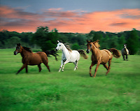 Arabian mares in field at sunset.