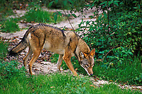 Red Wolf.  Endangered Species.  Southeastern U.S.