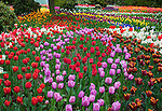 "Skagit County, WA               <br /> Mixed varities of spring tulips form colorful rings in RoozenGaarde garden.<br />  ""Courtesy of the Washington Bulb Co. Inc."""
