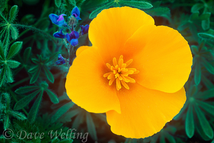168900019 a wild california poppy eschscholtzia californica blooms with a bright yellow flower among lupine plants in the lancaster poppy preserve in southern california