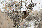 Mule Deer (Odocoileus hemionus) doe in winter, Yellowstone National Park, Montana