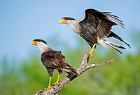 a pair of Northern Crested Caracara, Caracara cheriway, Texas, USA