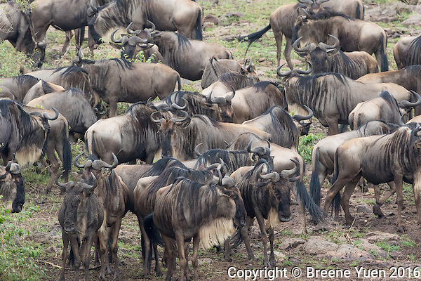 Wildebeast Gathering for River Crossing   Kenya 2015