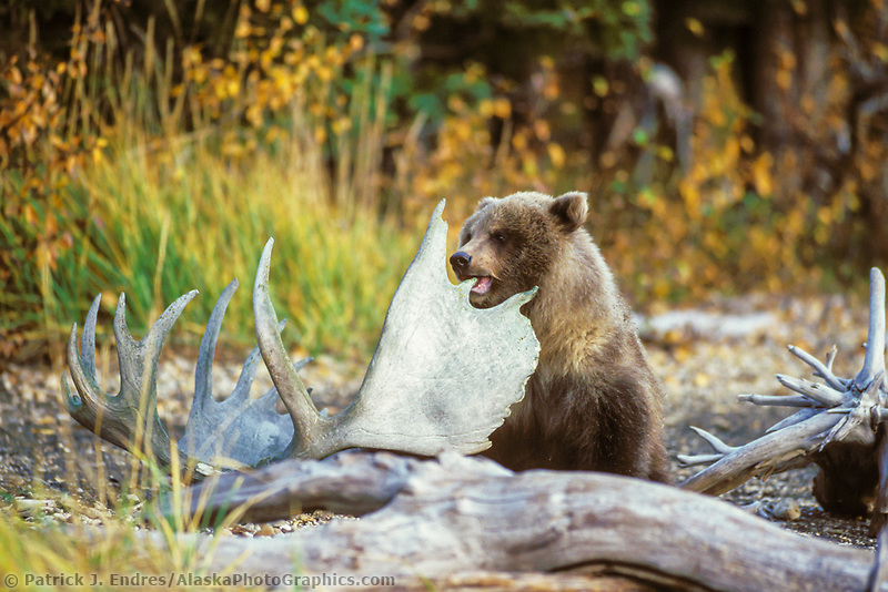 Brown bear cub chews on moose antlers, Katmai National Park, Alaska