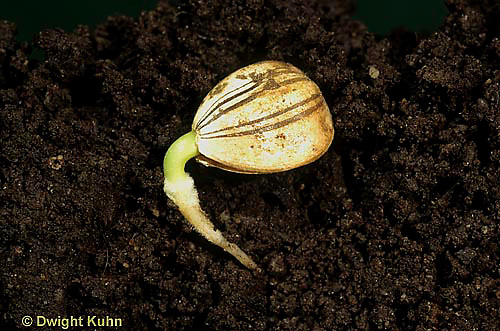 HS13-030a  Sunflower seedling showing roots underground - Helianthus spp.