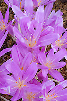 Colchicum Lilac Wonder, autumn flowering bulb in pink lavender color