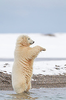 Polar bear cub stands up for a better view while walking the shore of a barrier island in Alaska's Beaufort Sea, Arctic National Wildlife Refuge.