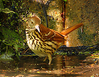 Adult brown thrasher bathing