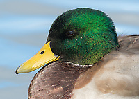 The Mallard duck is an underrated beauty.