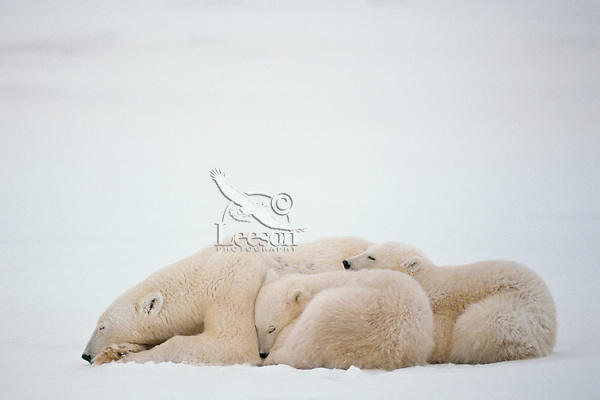 Polar bear (Ursus maritimus) female (sow) with cubs resting during snowstorm.  Hudson Bay, Canada.