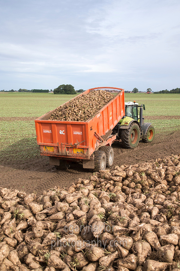 Start of the new season sugar beet harvest campaign, tipping beet into a field clamp ready for cleaning & loading for delivery to Wissington - 15 September - South Lincolnshire