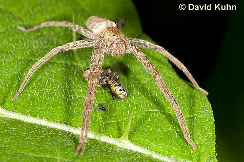 0113-1002  Nursery Web Spider Standing Over Recently Consumed Prey, Pisaurina mira  © David Kuhn/Dwight Kuhn Photography