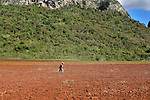 A Cuban farmer planting a field of yucca