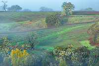 Lifting Fog, Marietta Vineyards, Yorkville Highlands, Mendocino County, California