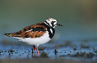 Ruddy Turnstone, Arenaria interpres,adult summer plumage, Welder Wildlife Refuge, Sinton, Texas, USA