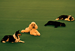 Obedience Competition at Crufts Dog Show 1991 National exhibition Centre Birmingham 1990s UK