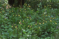 Frauenschuh, Gelber Frauenschuh, Gelb-Frauenschuh, Europäischer Frauenschuh, Marienfrauenschuh, Marien-Frauenschuh, Cypripedium calceolus, Lady's-slipper orchid, Yellow ladys slipper, Ladys slipper orchid