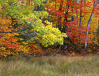Vilas County, WI<br /> Mixed hardwood forest in fall color at the edge of a grassy marsh near Lone Tree Lake, Northern Highland American Legion State Forest
