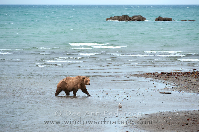 Coastal brown bear scouting along the oceans edge at low tide for salmon who have begun their journey up stream.