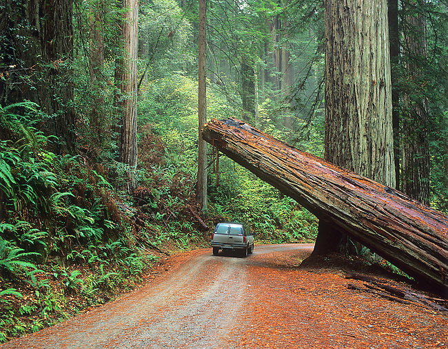 Old Growth, Redwood National Park, California