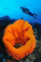 Elephant ear sponge, Acanthella sp, with scuba diver, Bonaire, Netherlands Antilles, Caribbean, Atlantic, MR